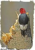 20130504-1 216 Red-headed Woodpecker.jpg