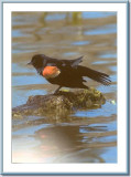 24 11 2006 - red-winged blackbird.jpg