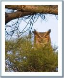 05 08 2005 - 0021 Great Horned Owl