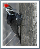 03 29 2005 - 0005 Pileated Woodpecker