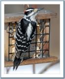 03 18 2007 - 0132 Hairy Woodpecker