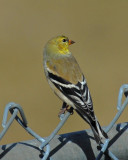 20070330 080  American Goldfinch