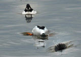 common_goldeneye