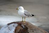gulls_-_2007