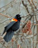 20070417 104 Red-Winged Blackbird