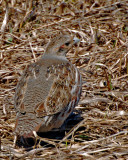 20070419 086 Gray Partridge