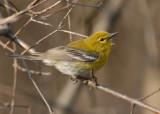 20070423 054  Pine Warbler.