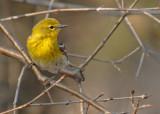 20070423 058 Pine Warbler.