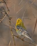 20070423 062 Pine Warbler.