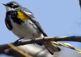 20070424-2 016 Yellow-rumped Warbler