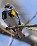 20070424-2 021 Yellow-Rumped Warbler