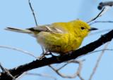 20070424-2 032 Pine Warbler