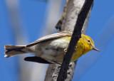 20070424-2 035 Pine Warbler