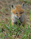 20070425-1 098 Red Fox Pup.