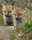 20070425-2 049 Red Fox Pups.