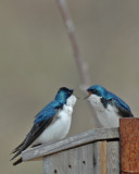 20070426 111 Tree Swallows
