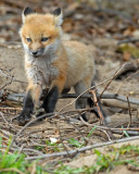 20070425-1 142 Red Fox Pup