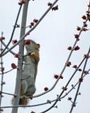 20070417 078 Red Squirrel