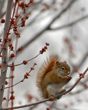 20070417 081 Red Squirrel