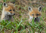 20070425-1 094 Red Fox Pups
