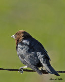 20070503 019 Brown-headed Cowbird
