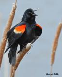 20070426 067 Red-winged Blackbird