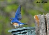 Eastern Bluebirds 2007