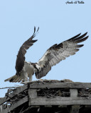 20070514-2 013 Osprey