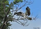 20070606-1 002 Osprey
