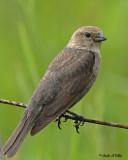 20070607-1 155 Brown-headed Cowbird (female)