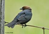 20070607-1 132 Brown-Headed Cowbird (male)
