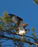 20070617-4 023 Osprey