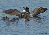 20070619-2 041 Loons