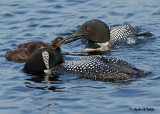 20070619-2 050 Loons