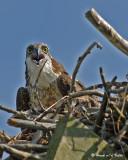 20070706  139 Osprey (female).jpg