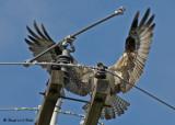 20070706  192 Osprey female.jpg