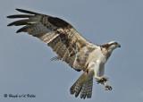 20070706  200 Osprey (female).jpg