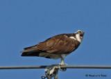 20070706 D200 049 Osprey (female).jpg