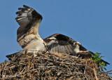 20070706 D200 062 Osprey (female and male).jpg