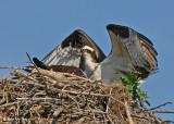 20070706 D200 067 Osprey (male and female).jpg