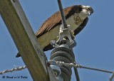 20070706  176 Osprey female.jpg