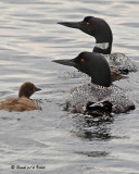 20070710 210 Common Loons (2nd Fam)2a .jpg