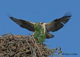 20070721-1 007 Osprey Juvenile .jpg