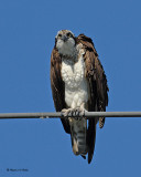 20070721-1 212 Osprey .jpg