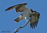 20070721-1 347 Osprey juvenile .jpg