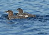 20070722-2 181 Common Loons juveniles, 3rd fam.jpg
