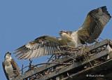 20070727 137 Osprey juvenile .jpg