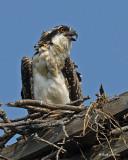 20070727 082 Osprey juveniles .jpg