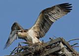 20070727 125 Osprey juvenile .jpg