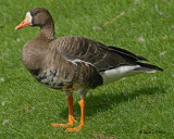 20070913 271 Greater White-fronted Goose.jpg